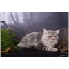 Сибирский котик редкого окраса в дар