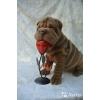 К продаже щенки шарпея