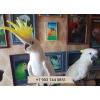 Желтохохлый какаду (cacatua galerita  eleonora)  ручные птенцы из питомников Европы