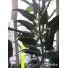 Каланхоэ трёхлетнее и другие комнатные цветы