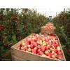 Требуются рабочие на сбор яблок