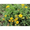 Цветки и семена календулы