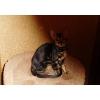 Бенгальская кошечка мраморный окрас