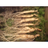 Женьшень свежие корни для приготовления необычного состава