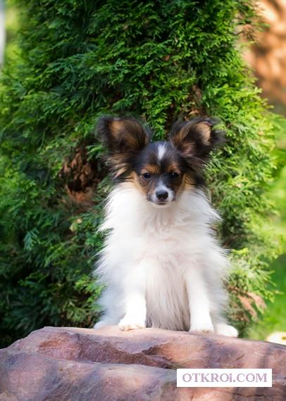 Купите щенка папийона (папильона)