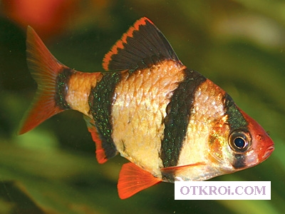 Барбус Суматранский и Мшистый Другие рыбки в ассортименте