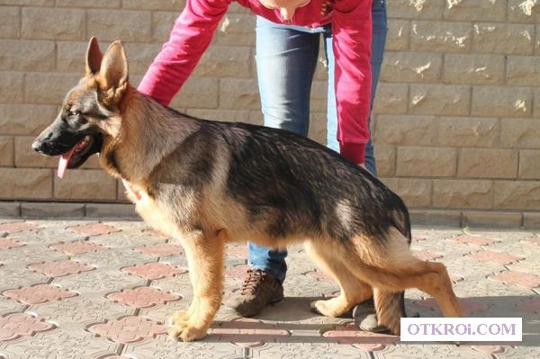 Подрощенный щенок немецкой овчарки,  девочка