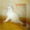 Сибирские невские маскарадные котята редкого окраса
