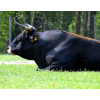 Покупаем быков и коров на убой,  Чебоксары