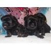 Великолепные щенки гриффона и брабансона.    Маленькие и подрощенные.