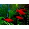 Меченосцы - яркие эффектные аквариумные рыбки