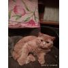 """Клубные красные котята питомника """"sweettoy"""""""
