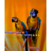 Сине желтый ара (ara ararauna)        - ручные птенцы из питомников Европы