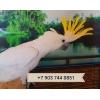 Желтохохлый какаду (cacatua galerita triton)     - ручные птенцы из питомников Европы