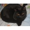 Клубные подрощенные и маленькие котята питомника`sweettoy`