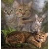 Пиксибоб котята