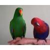Благородный попугай - ручные птенцы из питомников Европы