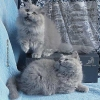 Голубые  длинношерстные британские котята.